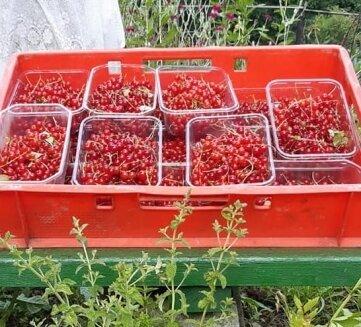 Der Auer Tafelgarten gab wieder einiges her, zum Beispiel rote Johannisbeeren.