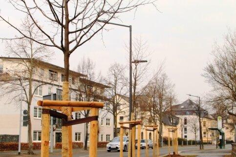 Gelebter Baumschutz: Die voriges Jahr gefällten Kastanien an der Bahnhofstraße in Reichenbach sind auf Veranlassung der Stadt unter anderem durch Winterlinden ersetzt worden.