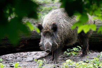 Die Jäger konnten nur ein Schwein erlegen.