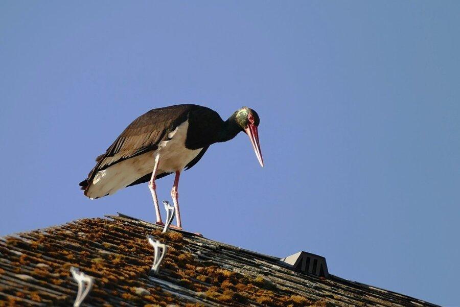Anwohner beobachten in Markersdorf regelmäßig einen Schwarzstorch, so auf einem Dach.