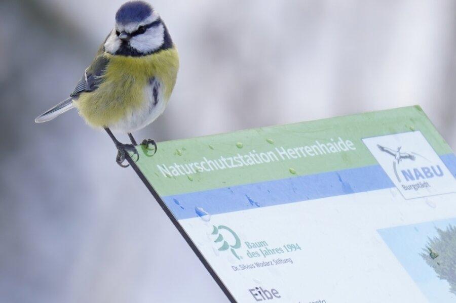 Bei der diesjährigen Wintervögel-Zählaktion liegt ein besonderes Augenmerk auf der Blaumeise (hier auf einem Nabu-Schild in Herrenhaide), weil im Frühjahr 2020 Tausende Vögel an einer Epidemie starben.