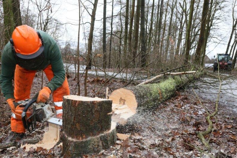 Oliver Vogel, Auszubildender zum Landschafts- und Gartenbauer im dritten Lehrjahr, kürzt den Baumstumpf mit der Kettensäge ein, nachdem die abgestorbene Roterle am Wegesrand im Weißenborner Wald gefällt worden ist.
