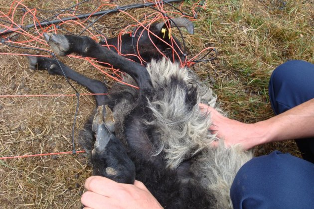 Das hilflose Schaf musste von Bundespolizisten befreit werden.