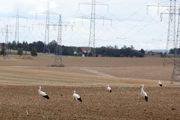 So viele Weißstörche wie noch nie im Landkreis Zwickau