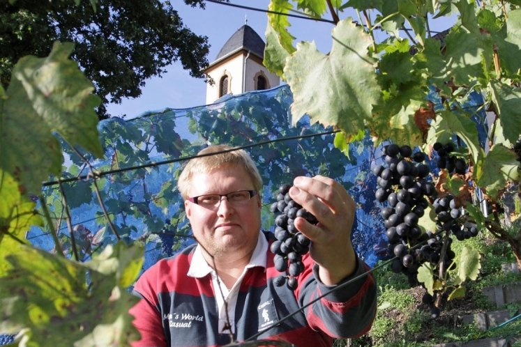 Jochen Zapf erntet an seinem Weinberg vorm Haus die ersten reifen Trauben der Saison.