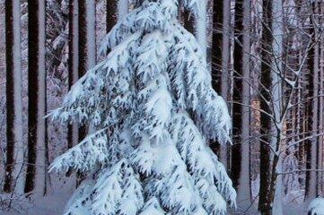 Schon oft fotografierte Stefan Schulze die malerische Fichte. Hier ein Bild vom 13. Dezember 2018.