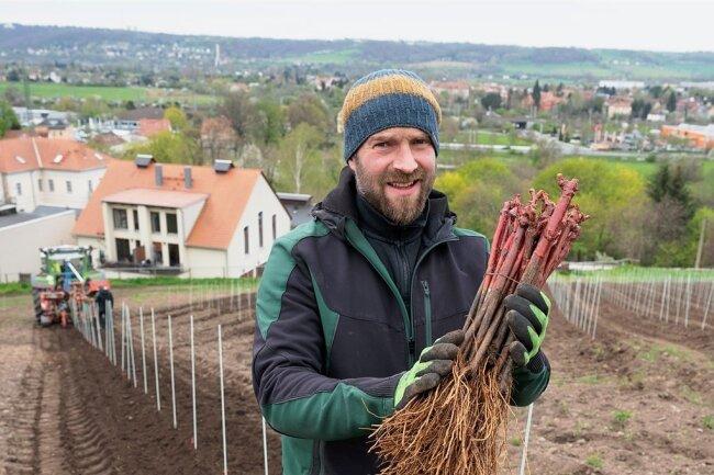 Till Neumeister, Weinbauleiter im Staatsweingut, mit jungen Reben der Sorte Gamay. Voraussichtlich im Jahr 2024 wird der Weinberg in Radebeul das erste Mal eine Ernte abwerfen.