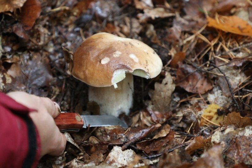 Eine Pilzsucherin schneidet einen Steinpilz am Waldboden ab. Die diesjährige Pilzsaison ist nach dem trockenen Sommer besser als von vielen erwartet.