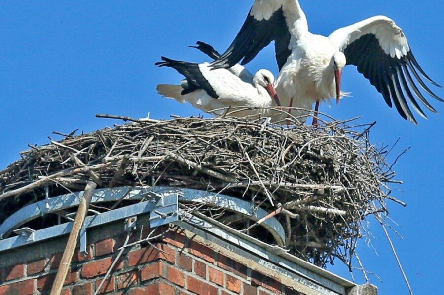 Das Storchennest auf dem Schornstein der ehemaligen Textilwerke Mülsen im Zwickauer Ortsteil Mosel ist auch in diesem Jahr von einem Paar besetzt. Nur ein Jungvogel ist dort geschlüpft.