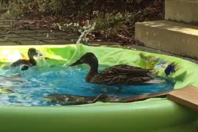Eine Entenmutter und ihre sieben Küken planschen im Pool, den die Klinik-Mitarbeiter für sie besorgt haben.
