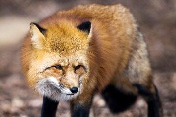 Für den Fuchs stellen die Milben der Fuchsräude eine lebensbedrohliche Gefahr dar.