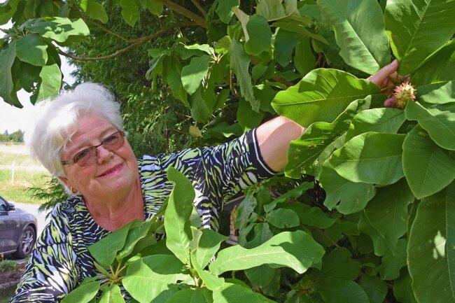 Maritta Hänsel aus Reuth mit einem Samenstand der Regenschirm-Magnolie.