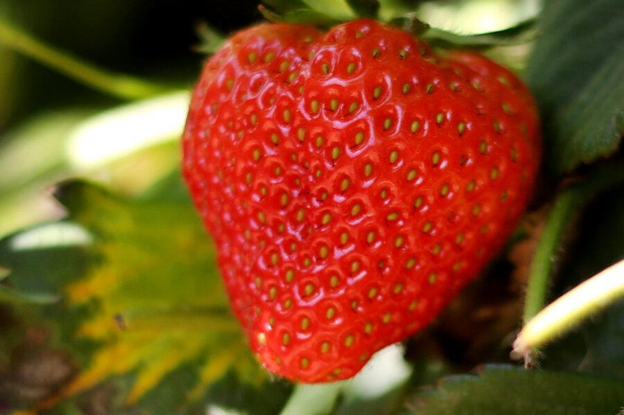 Pestizide in den meisten Erdbeeren
