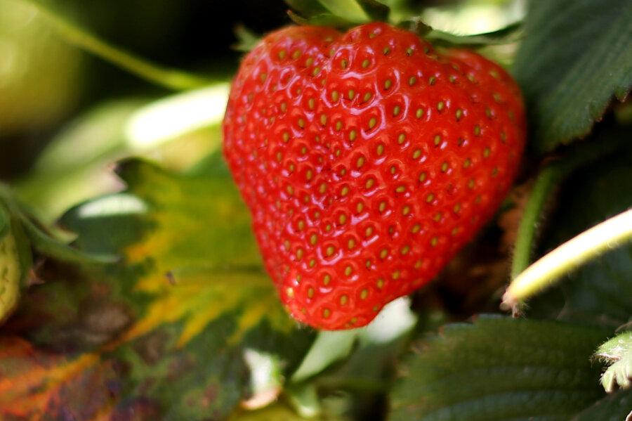 Reh verirrt sich in Erdbeerfeld