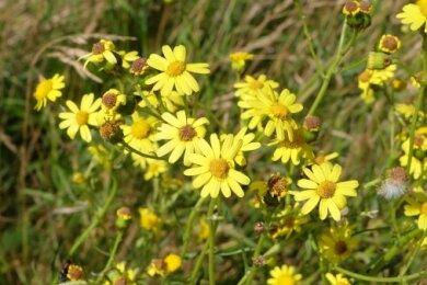 Das Schmalblättrige Greiskraut, hier an einem Feldweg an der Pfaffenhainer Länge, sollte laut Behörde keinesfalls zum Blühen kommen.