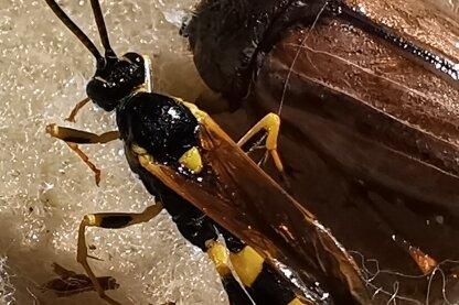 Eine Schlupfwespe und ein Juni-Käfer.