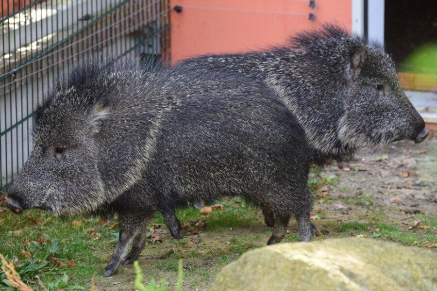 Schweine aus Paraguay neu im Tierpark
