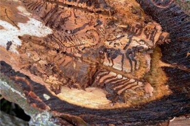 Das schnelle Handeln der vogtländischen Waldbesitzer sorgt dafür, dass es in der Region relativ wenige vom Borkenkäfer befallene Bäume mit solchen Gängen gibt.