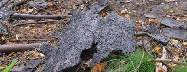 Vernichtungswerk: Borkenkäfer-Gänge an der Innenseite der Baumrinde.Geschwächte Bäume können dem Befall nichts entgegensetzen.