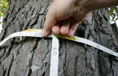Taillen-Messung: Die Baumschutzordnung greift, wenn der Stammumfang in einem Meter Höhe 50 Zentimeter übersteigt.