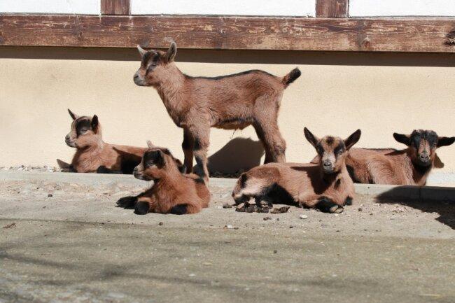 Insgesamt sechsfachen Nachwuchs gab es bei den Erzgebirgsziegen im Tierpark Chemnitz - auch wenn sich auf dem Foto nur fünf Zicklein sonnen.