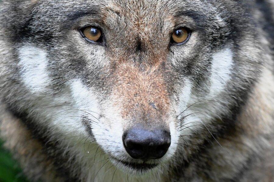 Hat längst mehr als nur ein Auge auf das Erzgebirge geworfen: der Europäische Grauwolf. Mehrfach sind im zu Ende gehenden Jahr vor allem Weidetiere im Erzgebirge gerissen worden.