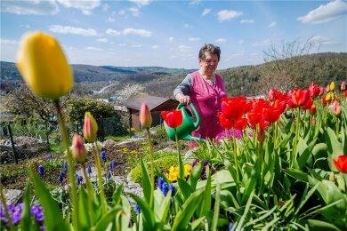 """Endlich keine Eisblumen, sondern schönste Tulpen blühen im Garten von Margarete Vogel (82) aus Aue. """"Es benötigt Sonne und Wärme, damit die Pflanzen wachsen. Sollte jedoch noch einmal Nachtfrost kommen, wäre das fatal."""" gudo"""