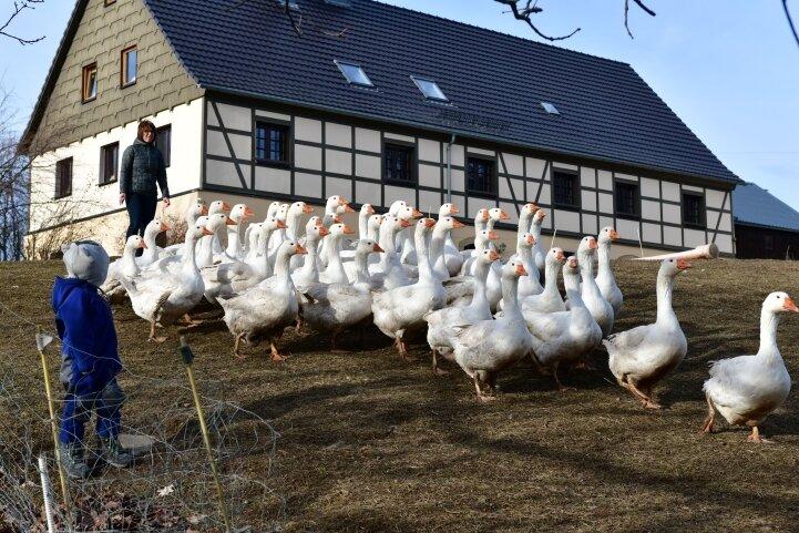 Auf dem Biohof Kretzschmar in Burkersdorf wachsen zahlreiche Pommerngänse heran.