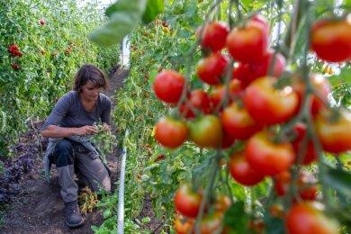 In Klein Trebbow, einem Stadtteil von Neustrelitz in Mecklenburg-Vorpommern, gibt es bereits einen Betrieb der Solidarischen Landwirtschaft. Juliette Lahaine pflegt die Tomatenpflanzen in einem der Gewächshäuser des Hofes. Der Agrarbetrieb mit Schafen, ganzjährig weidenden Rindern, Schweinen, Gänsen, Milchverarbeitung und einer Gärtnerei wird von mehr als 100 Anteilseignern finanziert, die dafür Ernteanteile bekommen.