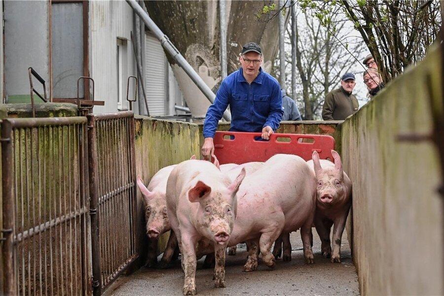 In drei Schweinemastbetrieben in Brandenburg ist die Seuche erstmals bei Hausschweinen nachgewiesen worden.