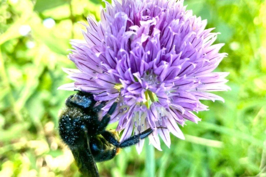 Auch das ist biologische Vielfalt: Eine Biene genießt auf einer Blüte im Vorgarten süßen Nektar.