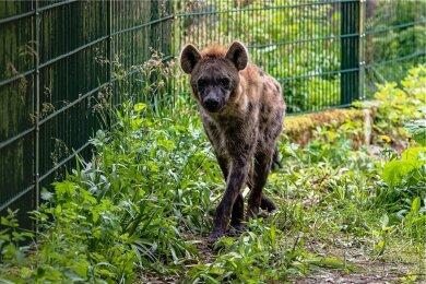 In dem umgestalteten einstigen Löwengehege des Chemnitzer Tierparks sind nun Typfelhyänen zu Hause. Foto: Igor Pastierovic.