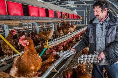 Andreas Polster gibt seinen Hühner zur Beschäftigung während der Stallpflicht Stroh oder auch Pappe.