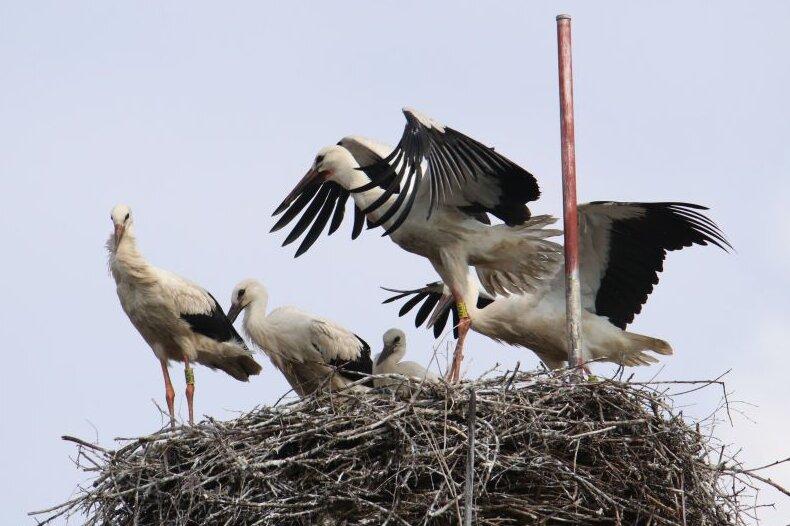 Bislang einmalig im Landkreis - auf diesem Horst in Burgstädt hat ein Storchenpaar in diesem Jahr fünf Jungvögel großgezogen. Zwei Tiere gelten bereits als erfolgreiches Brutgehege.