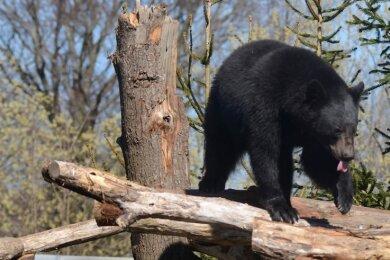 Schwarzbär Martin turnt auf dem neuen Klettergerüst umher, während sein Bruder Björn in einer Ecke im Schatten döst. Seit November leben die Bärenbrüder in Falkenstein.