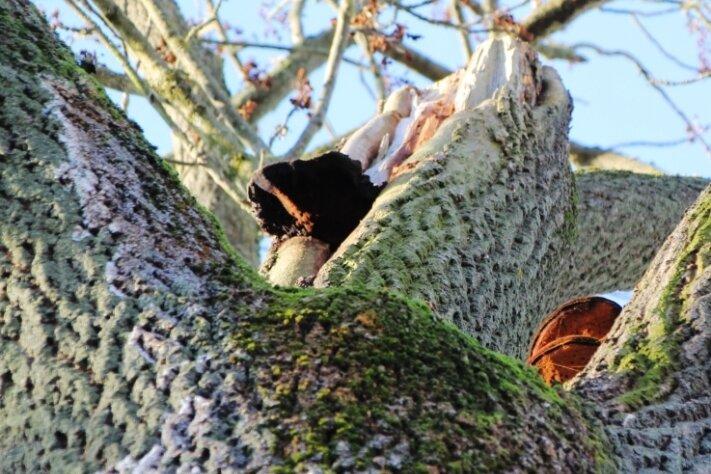 Die vom Baumpilz befallene Esche in Pfaffengrün.