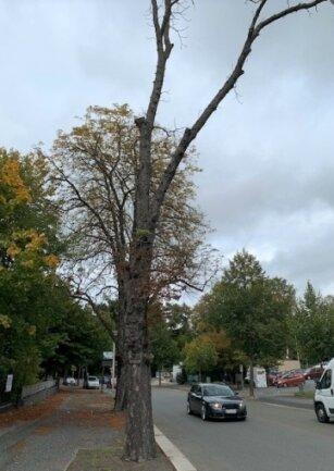 Nur noch Totholz in den Kronen hatten etliche Winterlinden. Sie wurden gefällt.