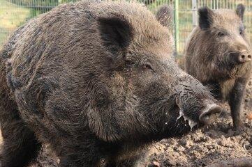 Die Afrikanische Schweinepest ist in Sachsen ausgebrochen. Das wird im Vogtland genau verfolgt.