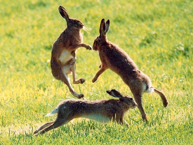 """<p class=""""artikelinhalt"""">Im März und April ist Paarungszeit. Da jagen und schlagen sich die Rammler, um den Häsinnen zu gefallen. Den Feldhasen unterscheiden lange Hinterbeine und Löffeln mit schwarzen Spitzen vom Kaninchen. </p>"""