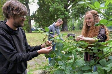Am Goldbach im Albertpark haben Christian Mädler, Chayenne Bohlinger und Paul Wagner köstlich reife Brombeeren entdeckt.