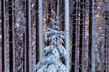 Schon oft hat Stefan Schulze die malerische Fichte fotografiert. Hier ein Bild vom 13. Dezember 2018.