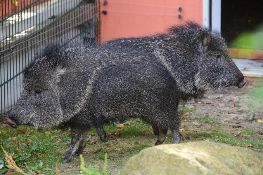 Chaco-Pekaris - eine südamerikanische Art der Nabelschweine - konnten trotz Coronakrise und Einschränkungen im vergangenen Jahr neu in den Tierpark in Limbach-Oberfrohna einziehen.