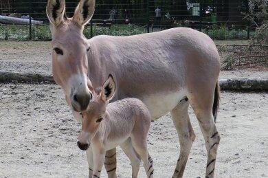 Das Somali-Wildesel-Fohlen mit Mutter Hera.