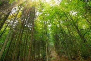Die Buche soll im Kommunalwald von Annaberg-Buchholz - hier nahe der Brettmühle bei Königswalde - noch mehr an Bedeutung gewinnen. Der sogenannte Waldumbau wird fortgesetzt.