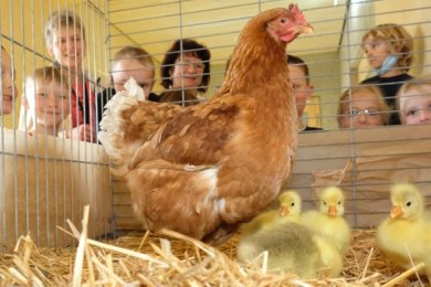 Vier Gänseküken und eine Henne, die ihre Ziehkinder hütet, als wäre es der eigene Nachwuchs. In der Hauptmannsgrüner Grundschule ist die Leihgabe vom Kleintierzüchterverein gerade der Hit.