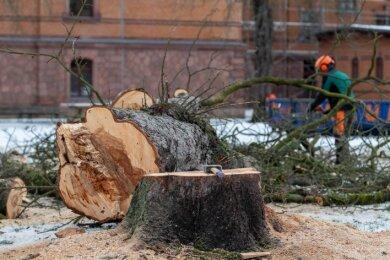 Mitarbeiter der Firma Frohburger Sanierungs- und Landschaftsbaugesellschaft haben am Mittwoch die ersten drei Kastanien auf dem Gelände des Rochlitzer Gymnasiums gefällt.