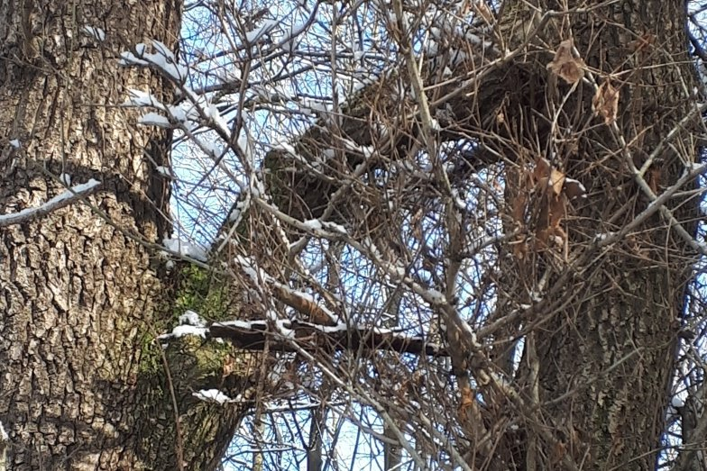 """Oft nur im Winter gut zu sehen: zwei Bäume, die sich """"umarmen""""."""