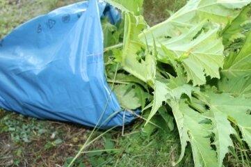 Dort soll er hin: Ein Riesenbärenklau im Müllsack: Die Bekämpfung ist nicht ganz ungefährlich.