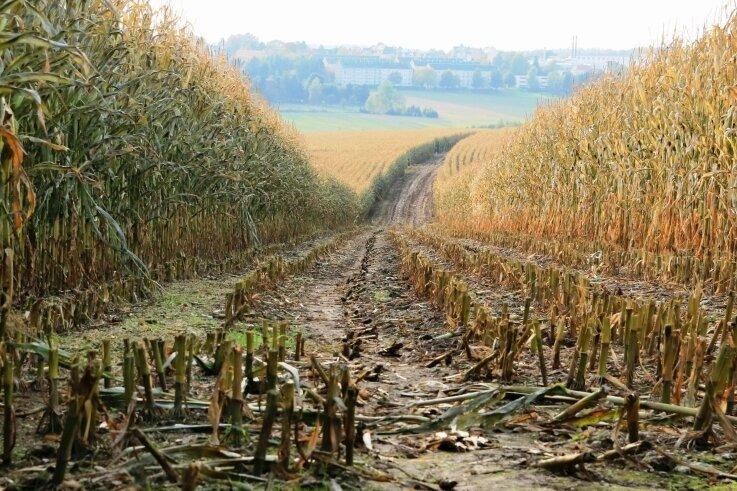 Ernteschneisen, die zur Bejagung von Schwarzwild dienen, hat ein Landwirt hier bei Treuen schon geschnitten. Ein Teil des Maises steht aber noch auf den Feldern. Die Frostschäden sind deutlich erkennbar.
