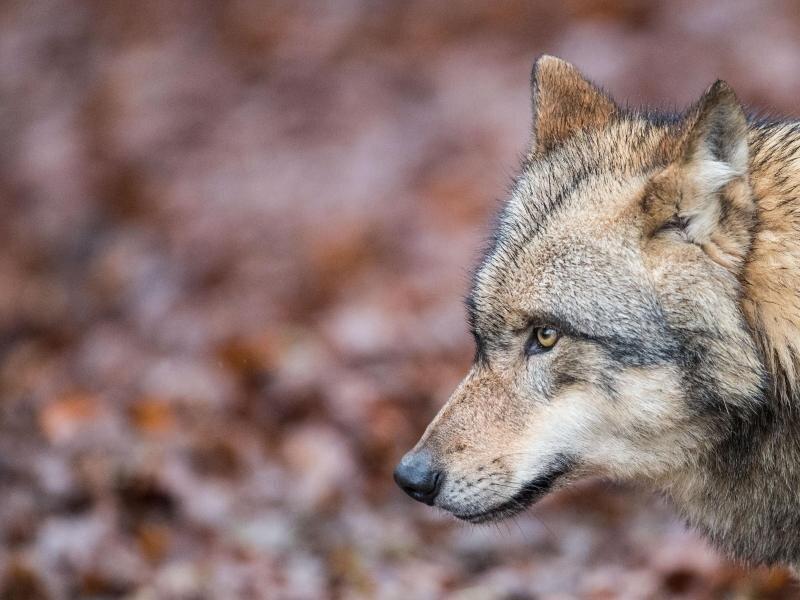 Seit einigenJahren nimmt die Zahl der Wölfe in Deutschland kontinuierlich zu.